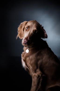 Kenzo hund race Weimaraner