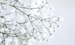 Blomst brudeslør tæt på