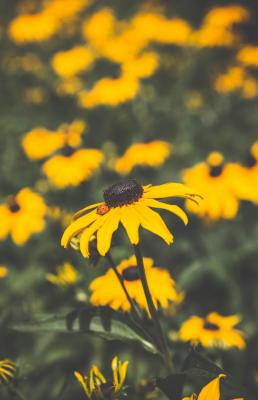 Store gule blomster med mariehøne