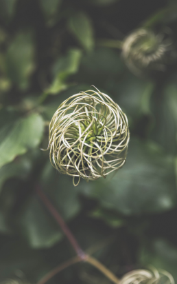 Snørklet blomst set oppefra