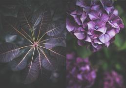 Lilla rosa blade og blomst. Hortensia tæt på blured baggrund