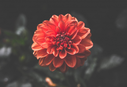 Stor rød blomst set oppefra